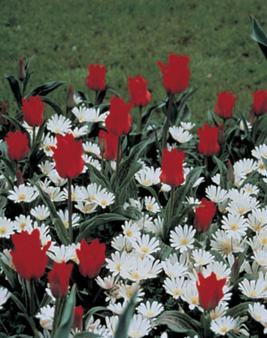 Tulipe Red Riding Hood