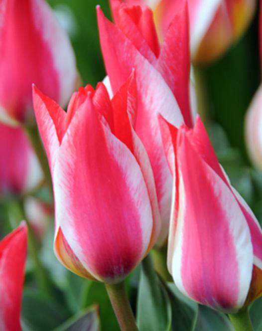 Tulipe Pinocchio