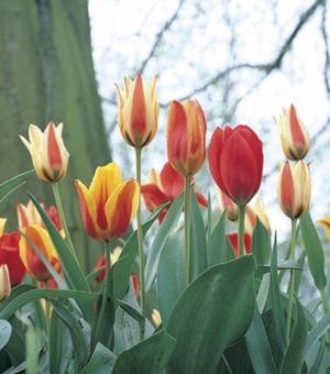Tulipes Greigii Mélange