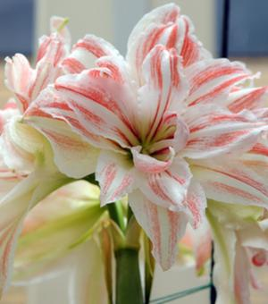 Amaryllis Dancing Queen