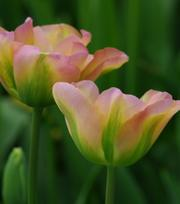 Tulipe Greenland
