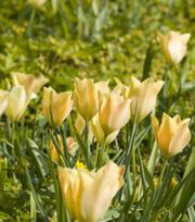 Tulipe Honky Tonk