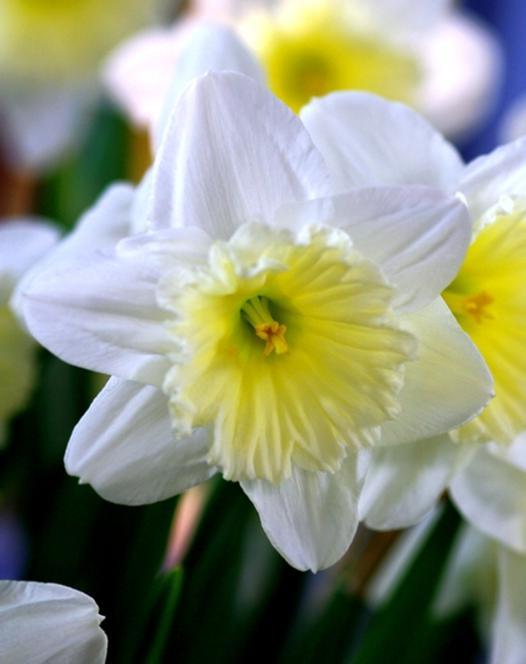Narcisse Ice Follies