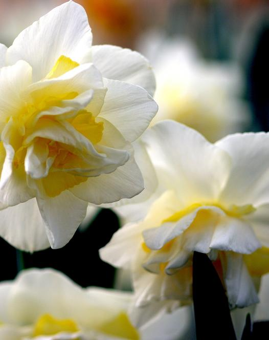 Narcisse White Lion