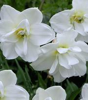 Narcisse Albus Plenus Odoratus