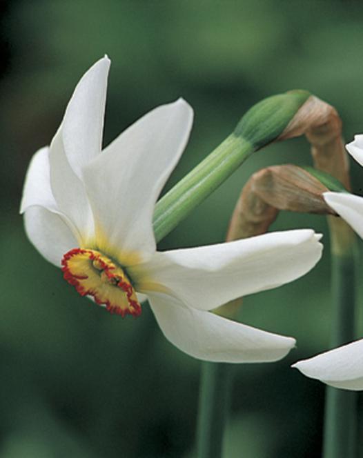 Narcisse Recurvus