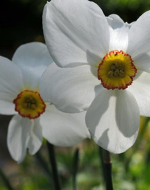 Narcisse Actaea