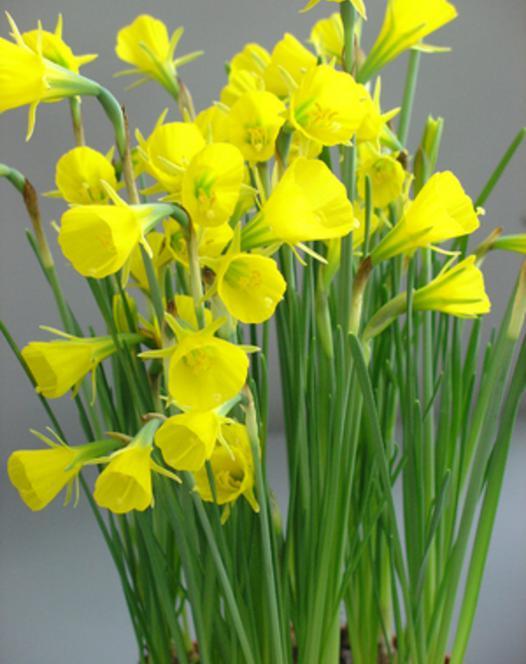 Narcisse Conspicuus