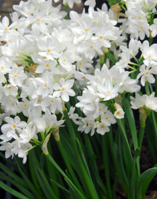 Narcisse à Floraison d'Intérieur Paperwhites - Ziva