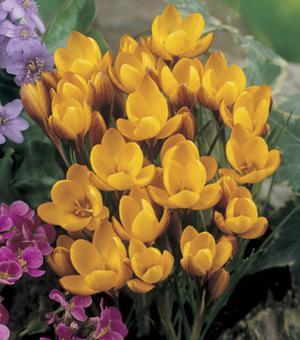 Crocus Chrysanthus Fuscotinctus