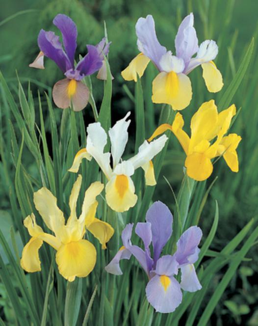 Iris Hollandica Mengsel