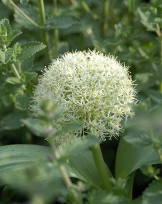 Allium Karataviense Ivory Queen