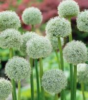 Allium White Giant