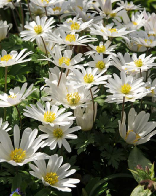 Anémone Blanda White Splendour