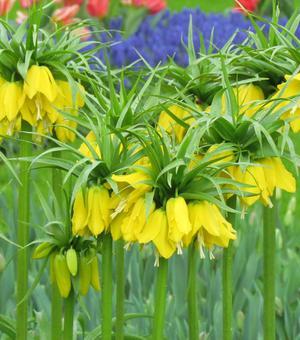 Fritillaria Crown Imperialis Lutea