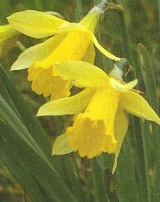 Narcisse Lobularis