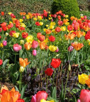 Tulipes Double Précoce Mélange