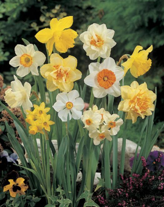 Narcisses Double Mélange 25kg