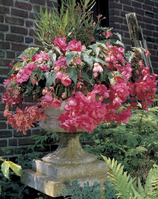 Begonias Retombant Rose