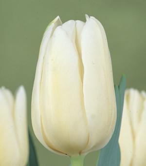 Tulipe Coquette