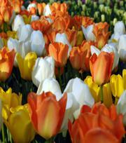 Tulipes Fosteriana Mélange