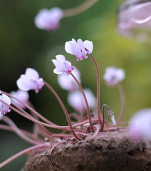 Cyclamen Hederifolium (Herbst-Alpenveilchen)
