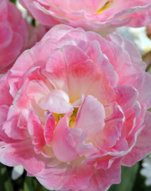 Tulipe Peach Blossom