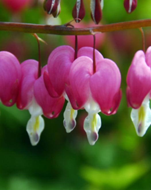 Dicentra - Lamprocapnos rose - blanc
