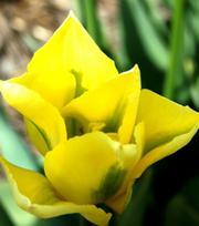 Tulipe Spring Green Jaune