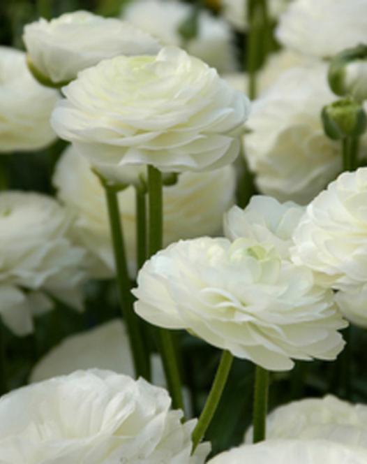 Ranunculus Aviv Blanc