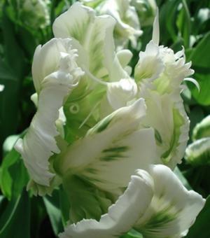 Tulipe Super Parrot