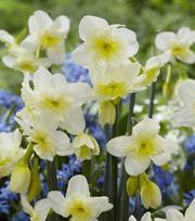 Narcissus Freedom Stars