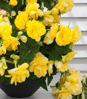 Begonia Odorosa Yellow Flame