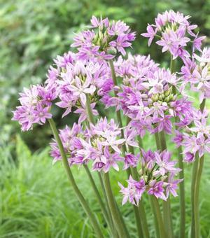 Allium Eros