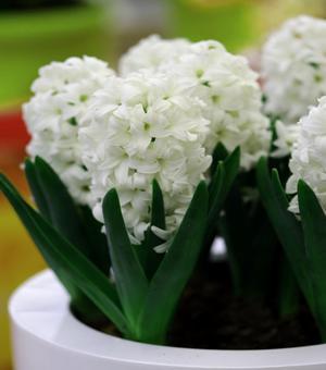 Prepared Hyacinth Carnegie