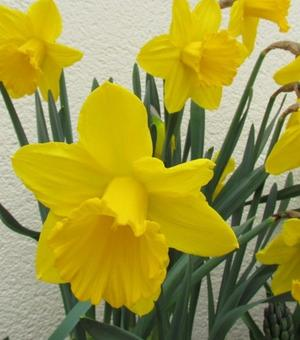 """Narcissus King Alfred """"Offspring"""""""
