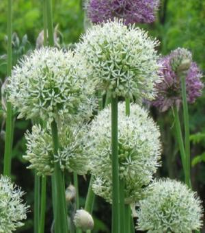 Allium Mount Everest (Stipitatum)
