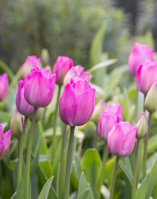 Tulip Attila