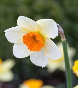 Narcissus Barret Browning