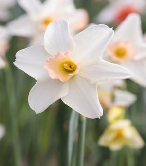 Narcissus Bellsong