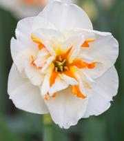 Narcissus Broadway Star
