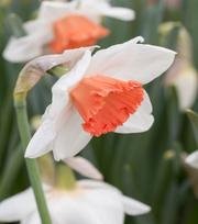 Narcissus Cool Flame
