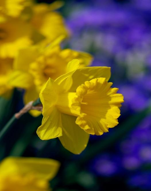 Narcissus Dutch Master 25kg
