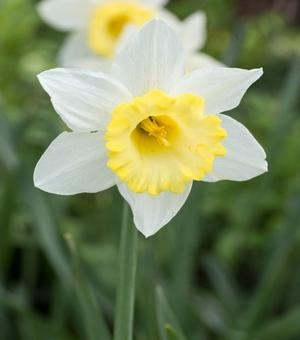 Narcissus Finland