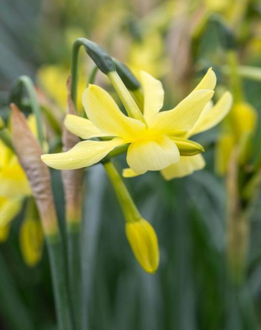 Narcissus Hawera