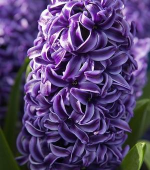 Hyacinth Rembrandt