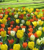 Citrus Tulip  Collection
