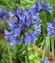 Agapanthus Midnight Blue