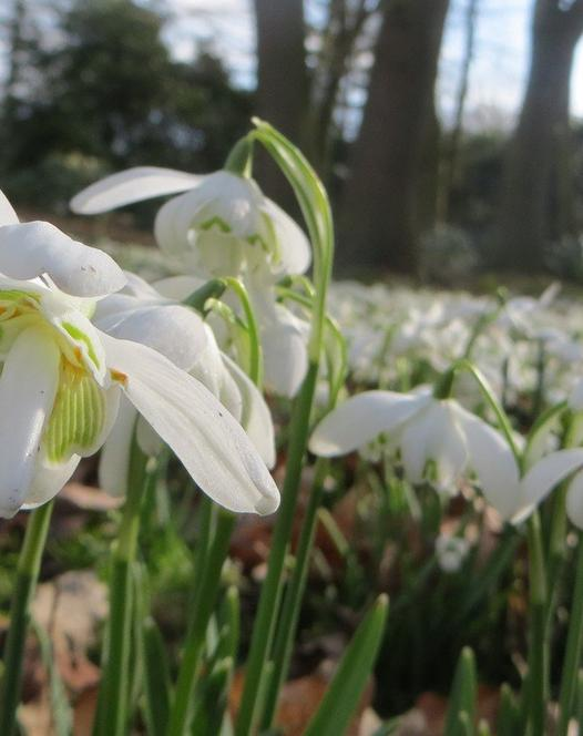 Snowdrop Double (Flore Pleno)