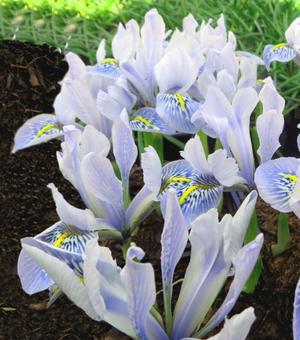 Iris Specie Frank Elder